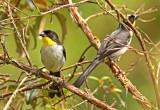 White-naped Brush-Finch