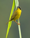 Olive-crowned Yellowthroat