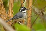 Black-capped Sparrow