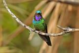 Purple-throated Sunangel