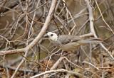White-headed Brushfinch