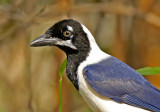 White-tailed Jay