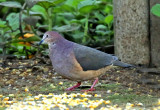 Ochre-bellied Dove