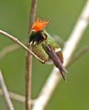 Rufous-crested Coquette
