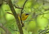 Black-lored Yellowthroat