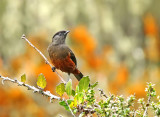 Chestnut-bellied Cotinga