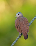 Ruddy Ground-Dove