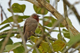 Dwarf Cuckoo