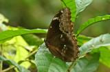 Butterfly Shiripuno
