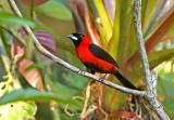 Masked Crimson-Tanager