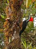Powerful Woodpecker