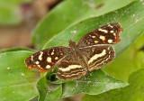 Butterfly Mashpi-Shungo
