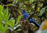 White-collared Jay