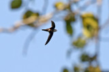 White-tipped Swift