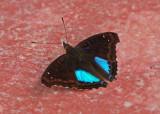 Butterfly Abra Patricia.jpg
