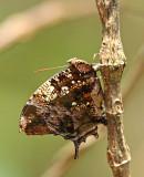 Butterfly Waqanki.jpg