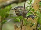 Green/Striated Heron