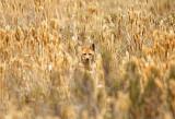 Cupleo Fox
