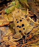 Frog Tipishca