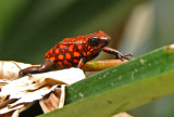 Dendrobates silvaticus