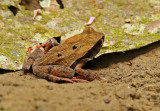 Frog Silanche