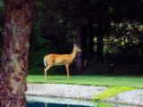 deer 713.jpg