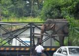 Elephant on Transit