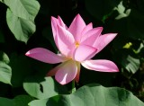 Lotus and Water Lily