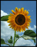 Sunflower RIC-001.jpg