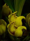 Anguloa cliftonii