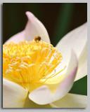 Lotus Pollenator