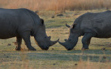 Nose to Nose in the Rhino Stomp