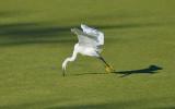 BJR8436 Snowy Egret.jpg