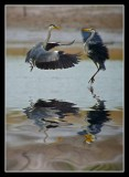 Herons - Clash of the Titans