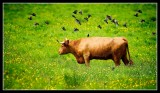 Cow and Starling Flock