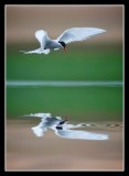 Arctic Tern Hovers