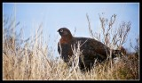 Male Red Grouse