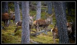 Wintering Group of Stags