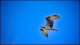 Osprey above us as we fish at Casa Agypt