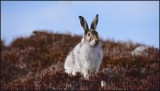 Mountain hare changing to summer browns