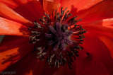 poppy core