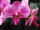 anniversary orchid