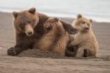 alaska_brown_bears_2014