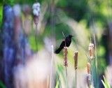 redwing_cattails14x11_2.jpg