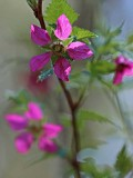 SalmonberryFlower050113.jpg