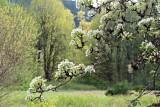 AppleBlossoms043013_2.jpg