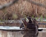 Otters3Barnaby031014_1.jpg