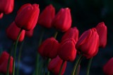 Tulips041114_4.jpg