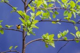 YellowthroatOnAlder.jpg