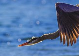BlueHeronCloseFlight123014.jpg